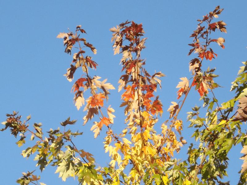 rainbow-color-leaves-blue-sky-autumn