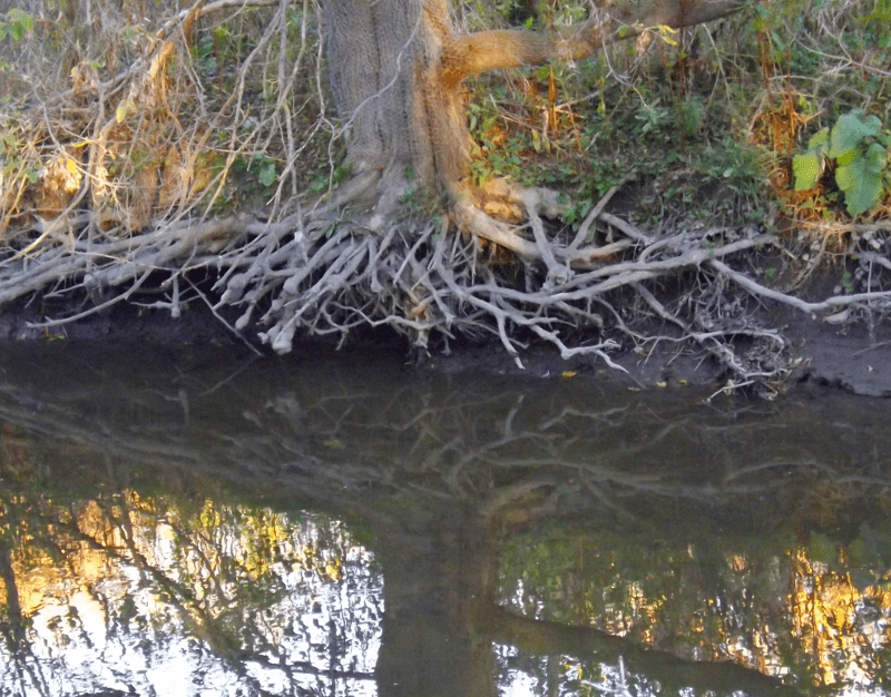 tree-roots-exposed-erosion-yggdrasil-autumn-afternoon-river