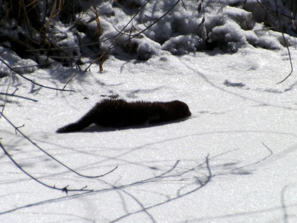 American Mink sliding in the snow on the banks of the Holland River, Newmarket, Ontario