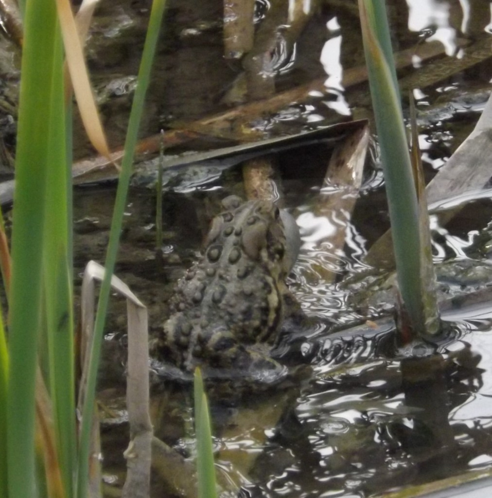 American Toad in song in a runoff pond near the Tom Taylor Trail, Newmarket, Ontario
