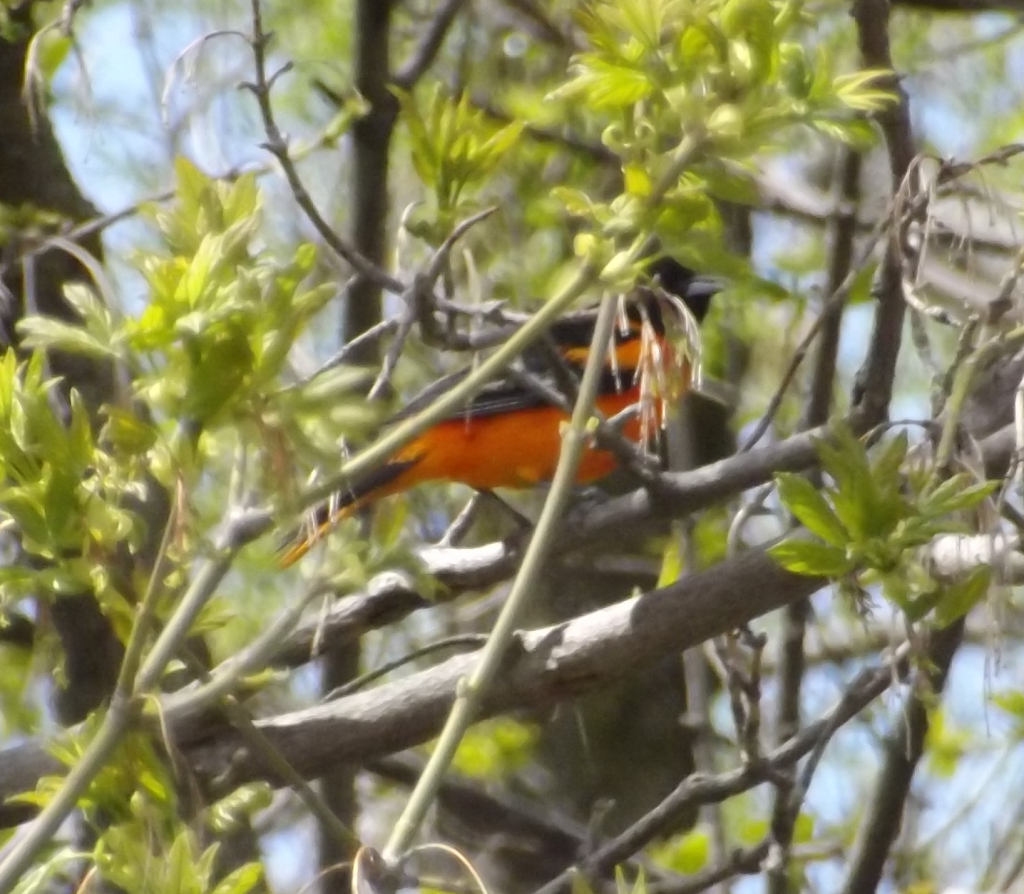 Baltimore Oriole in trees near the Tom Taylor Trail, Newmarket, Ontario