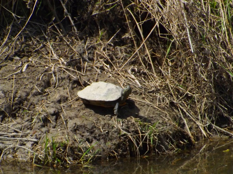 david-whelan-may-10-2014-midland-painted-turtle-side
