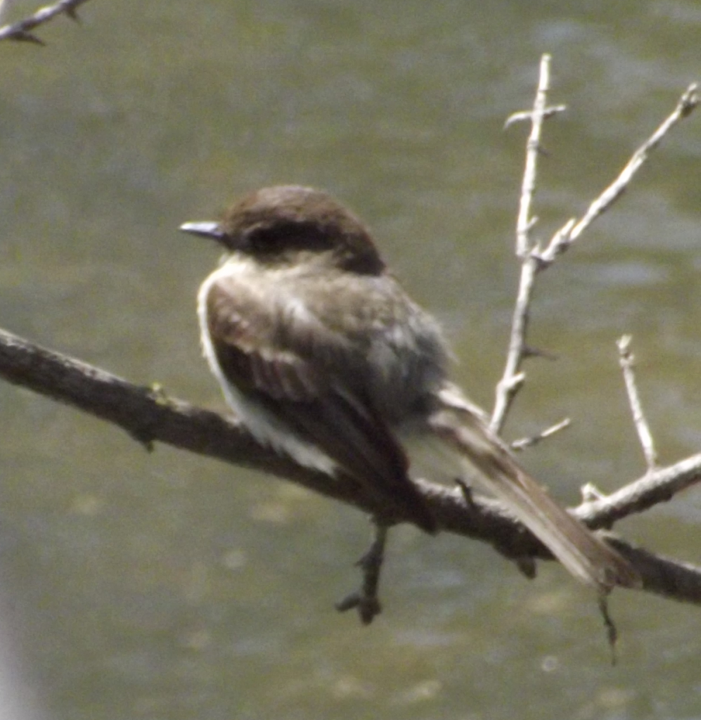 Eastern Phoebe in a tree above the Holland River near the Tom Taylor Trail, Newmarket, Ontario