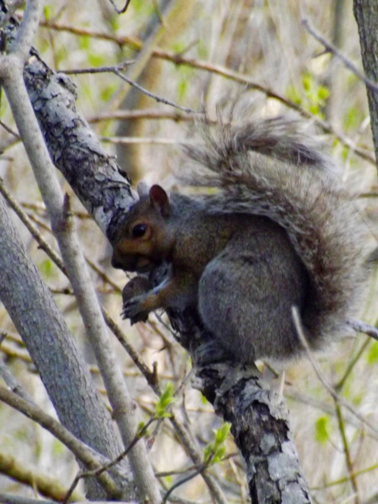 grey-squirrel-nut-tree
