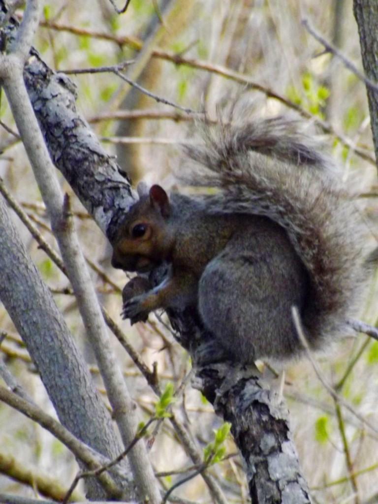 grey-squirrel-nut-tree