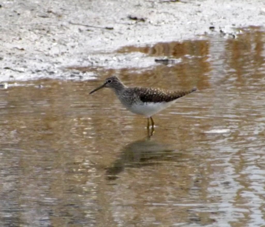Least Sandpiper fishing in pond in Newmarket, Ontario