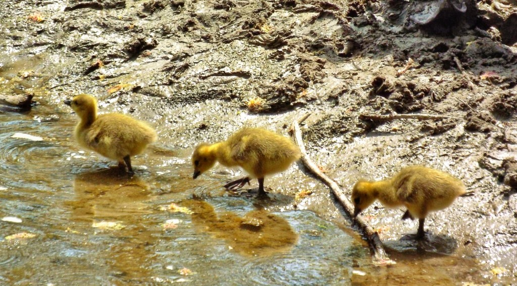 canada-geese-goslings-holland-river
