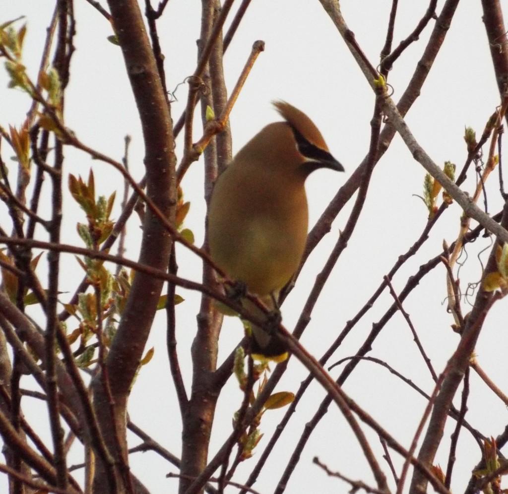 cedar-waxwing-sunrise-holland-river-second-bird