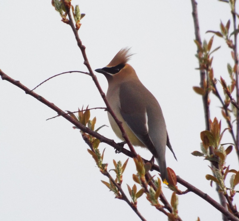 cedar-waxwing-sunrise-holland-river