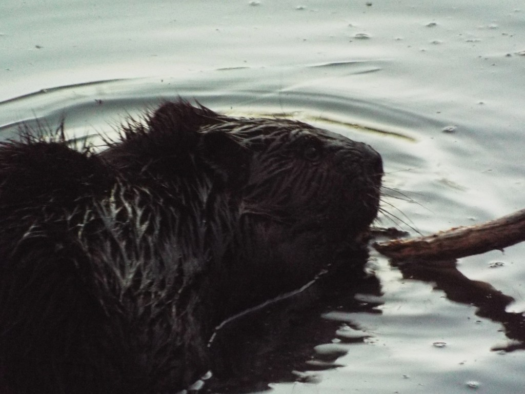 beaver-eating-breakfast-morning-pond-tom-taylor-trail-2015