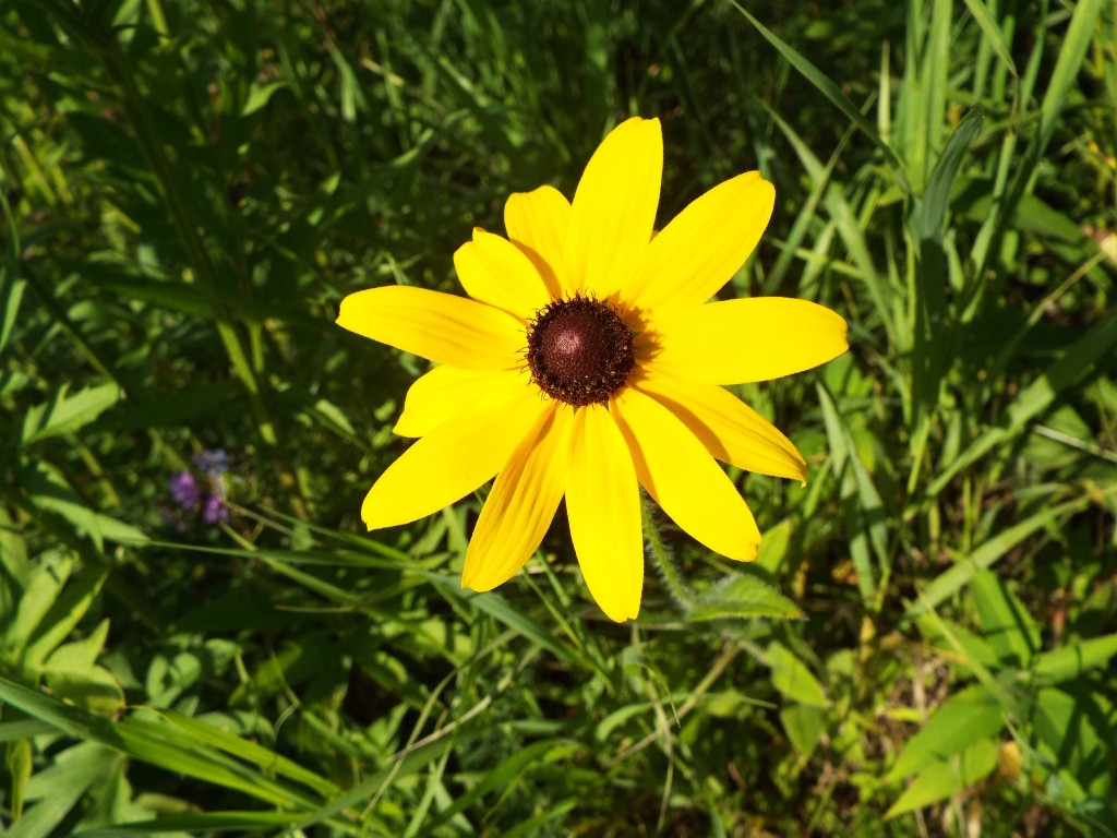brown-eyed-susan-tom-taylor-trail-summer-2015