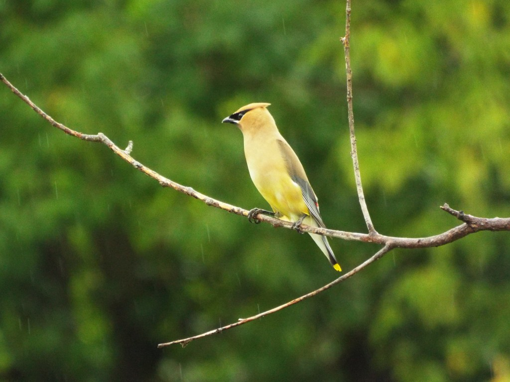 cedar-waxwing-rain-holland-river-runoff-summer-2015