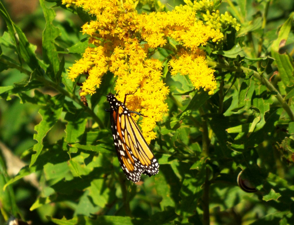 monarch-butterfly-goldenrod-snail