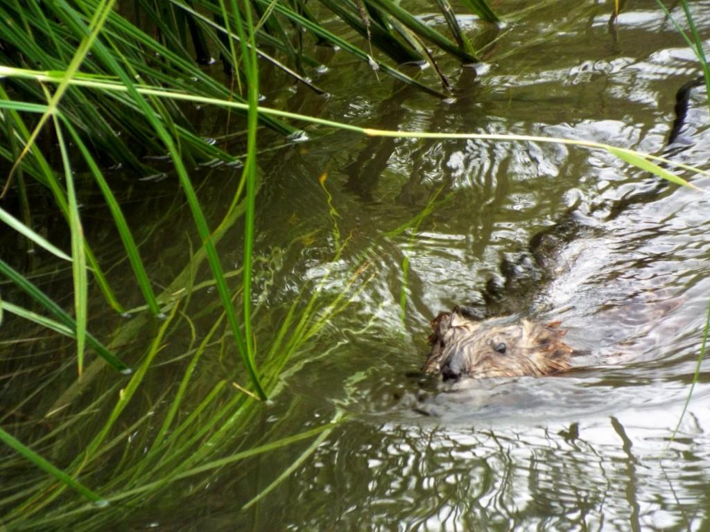 muskrat-swimming