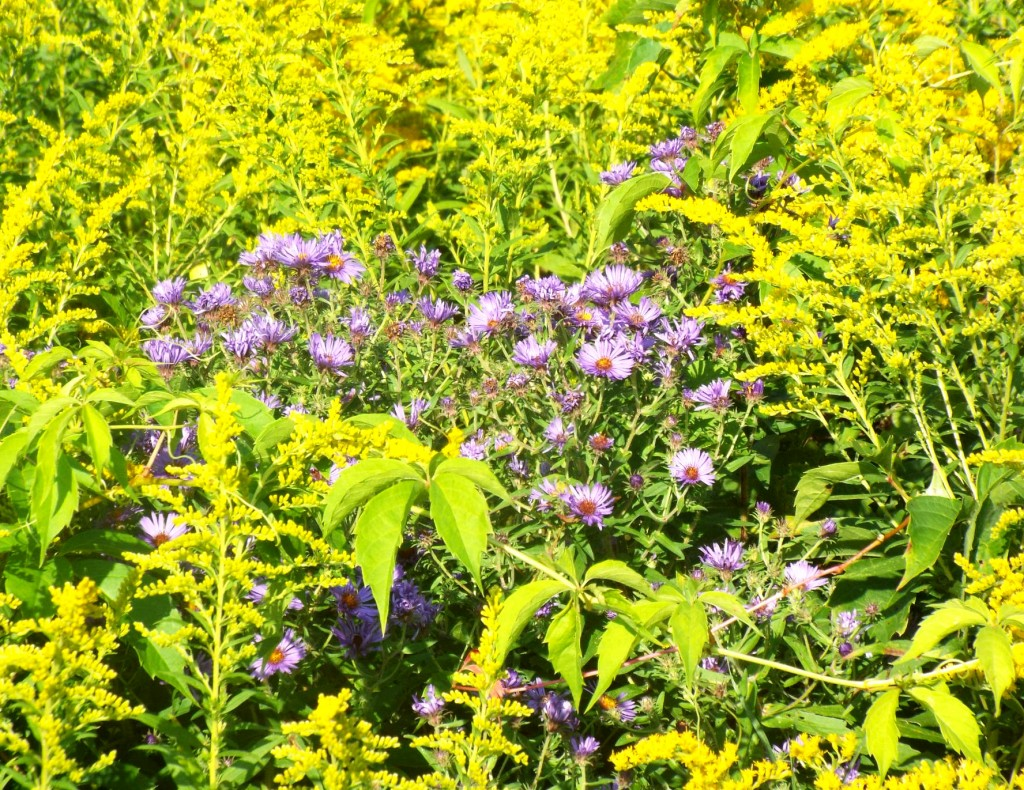 purple-asters-goldenrod
