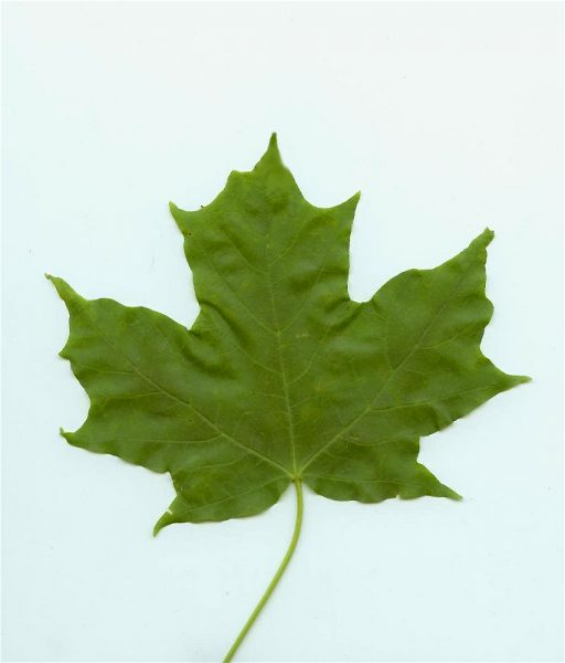 Maple Leaf by earl53 at Morguefile