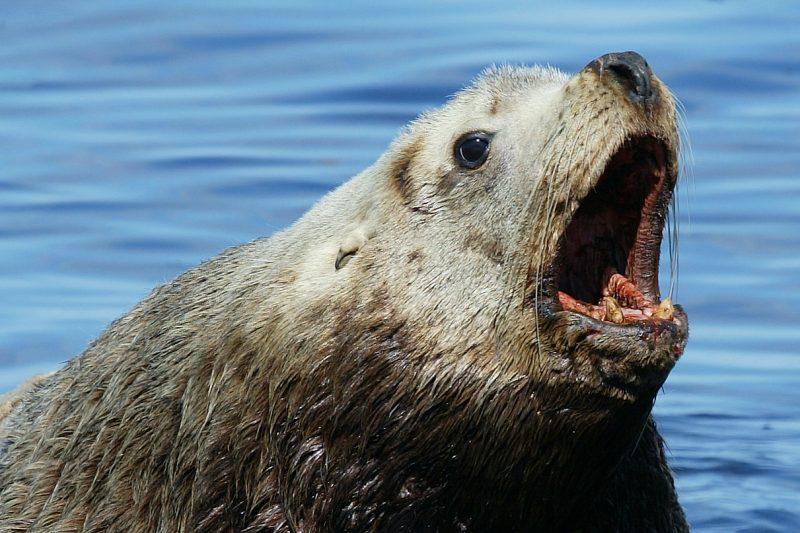 Sea Lion Roar by Matthew Hull at Morguefile.com