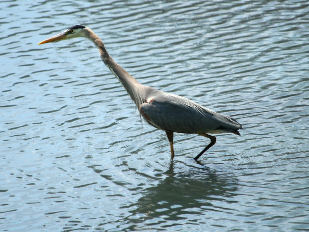 Great Blue Heron by clconroy at Morguefile.com