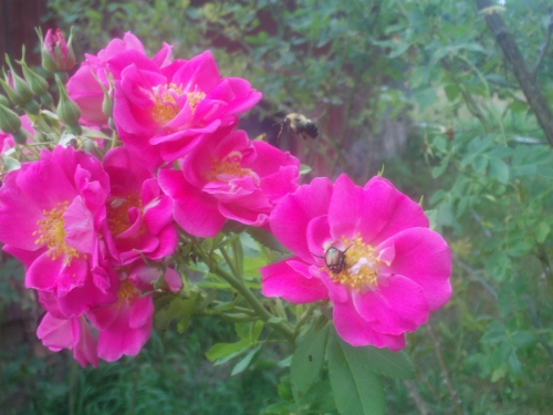 Bee hovering by a John Cabot rose, with a Japanese beetle in another bloom