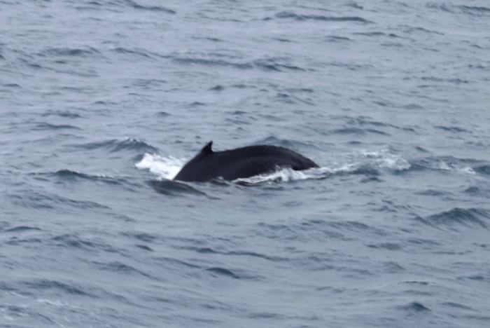 humpback-whale-elding-whale-watching-iceland