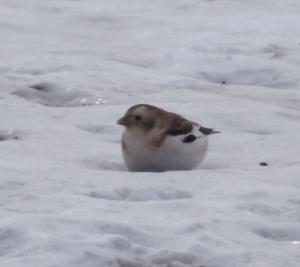 small-bird-iceland