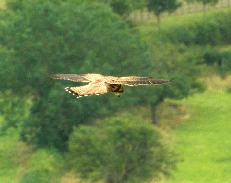 Buzzard hovering over its dinner at Glastonbury Tor, England