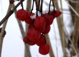 red-berries-tree-winter-snow-261x348