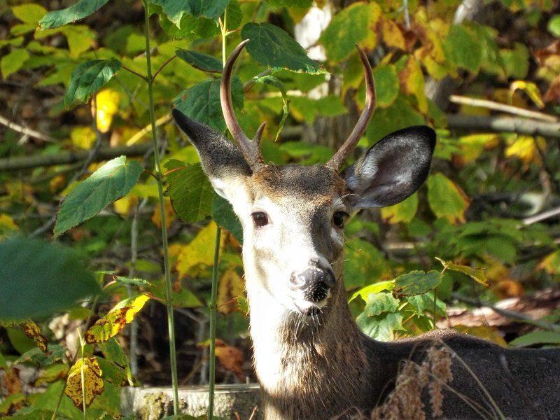 killbear-provincial-park-fall-2015-male-deer-stag-horns