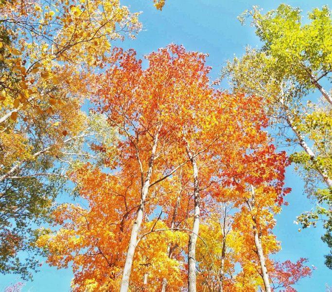 killbear-provincial-park-fall-colors-2015-birch